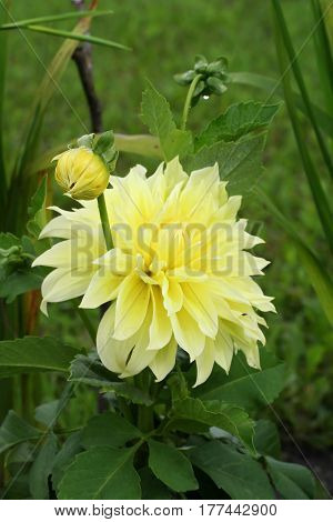 Yellow Dahlia 'kelvin Floodlight' Flower