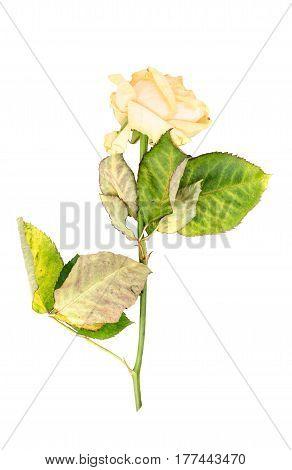 Sluggish yellow rose isolated on white background