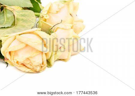 Sluggish three yellow roses on white background, closeup