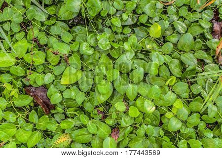 Curly periwinkle. Natural background glossy curly leaves on the ground.