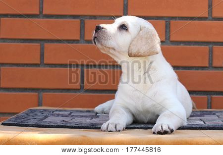 A Little Labrador Puppy On A Brown Background