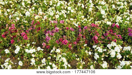 Flowerbed with flowers Viola - a genus of plants of the family Violet. There are about five hundred species growing mainly in the Northern Hemisphere