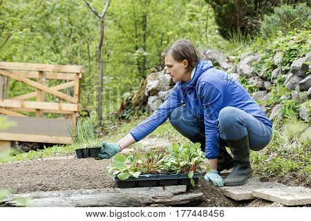 Gardener kneeling preparing seedlings for planting in freshly ploughed garden beds. Organic gardening healthy food nutrition and diet self-supply and housework concept.