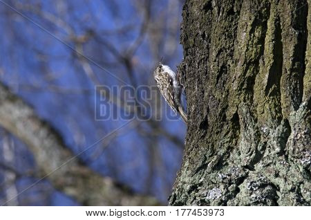 Treecreeper clinging claws climbs up a tree trunk up.