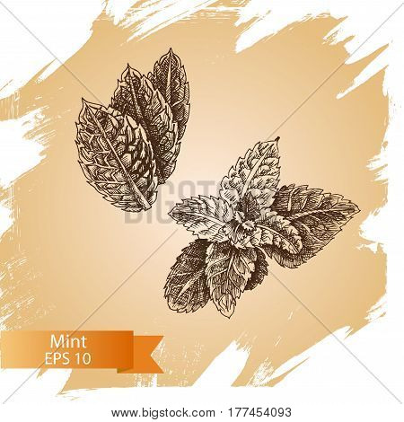 Mint Vector Drawing Set. Isolated Mint Plant And Leaves. Herbal Engraved Style Illustration.