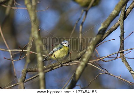 Blue tit sitting among the tree branches with swollen buds.