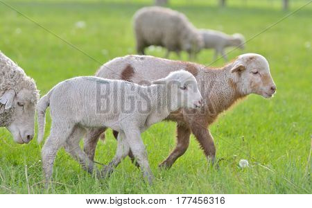 Young lambs and sheep on field in spring time