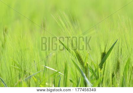 Unripe green wheat field, in middle of spring