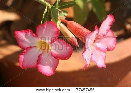 Pink Desert Rose  flowers in bright sunny days.