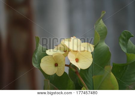 Yellow crown of thorns on a beautiful sunny