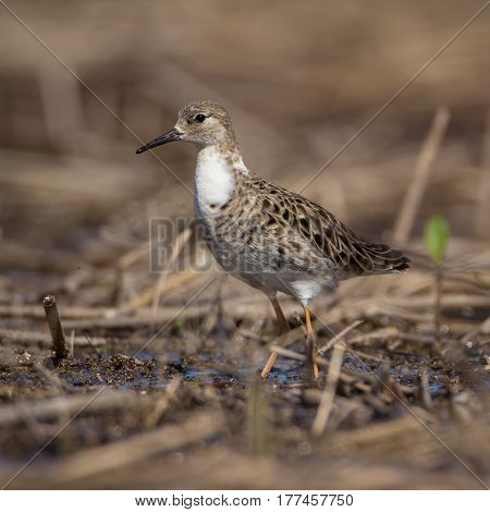Female ruffled in spring plumage. It stands on a quagmire.