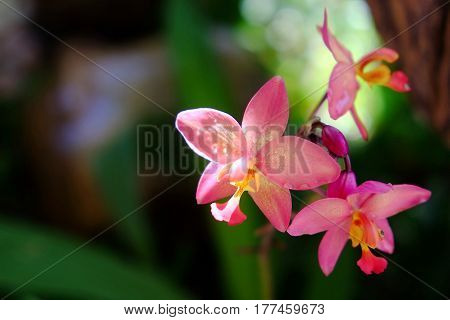 Spring pink  Dendrobium orchid in the garden.