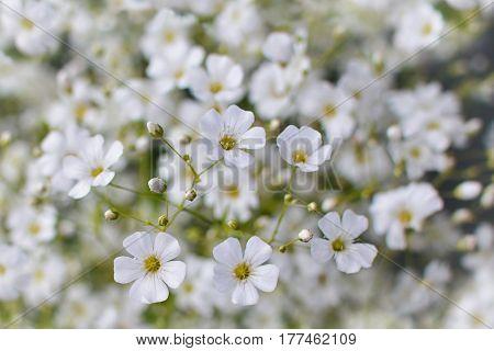 Baby's breath flowers dreamy warm toned background (Gypsophila)