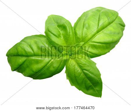 Green Basil isolated on white background with Clipping Path