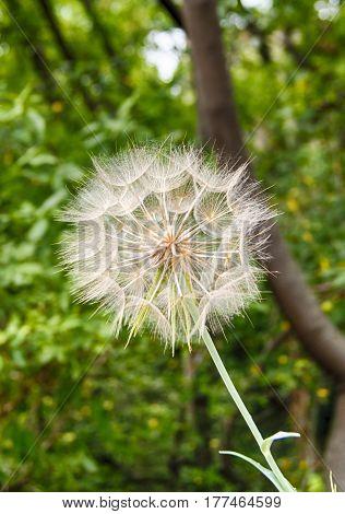 Big blowball flower with seeds closeup garden summer