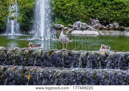 Three beautifule ducks on rocks in the fountain