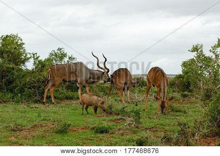 Male Kudu Sniffing His Female