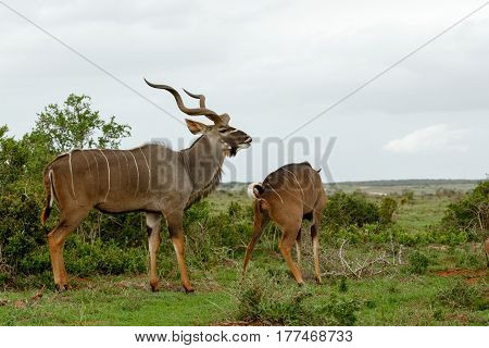 Male Kudu With His Nose Up In The Air