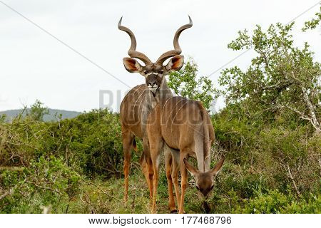 Male Kudu Standing Behind His Female