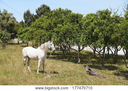 Beautiful white horse chestnut mane grazing along the oranges tree