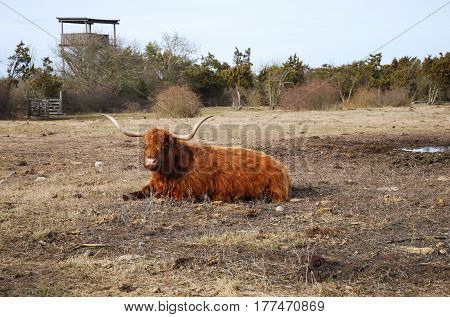 Resting highland cattle in a pastureland at the swedish island Oland