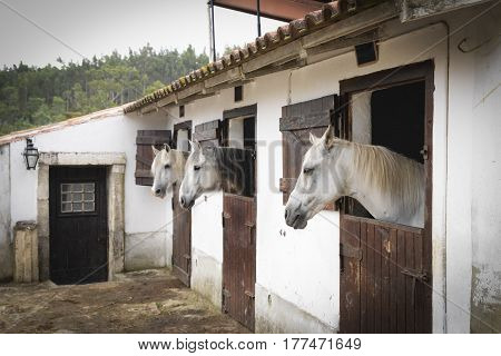 Three white horses on the Windows of the doors of the stables