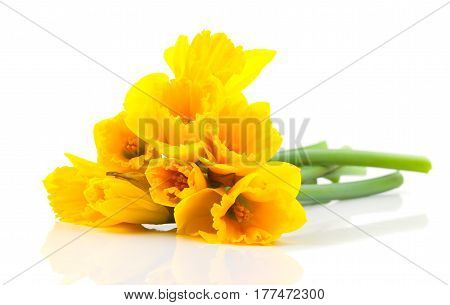 bouquet yellow narcissus flowers on white background