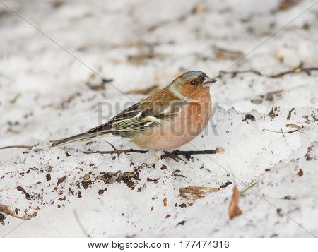 Male Common Chaffinch Fringilla coelebs close-up portrait on icy ground selective focus shallow DOF.