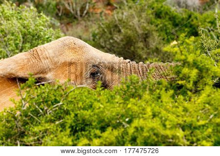 Elephant Laying Low Between The Branches