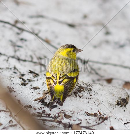 Male of Eurasian Siskin Carduelis spinus on old dirty snow close-up portrait selective focus shallow DOF.