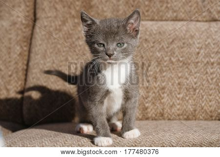 white with gray kitten staring boldly brown background