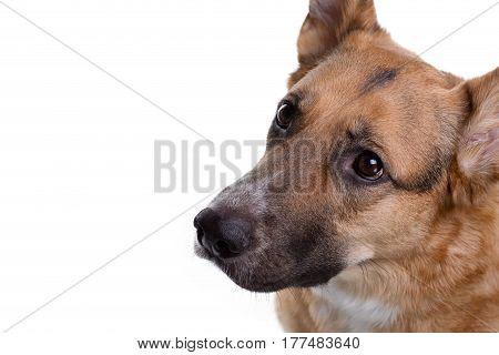 Pedigreed brown shepherd looking up on white background