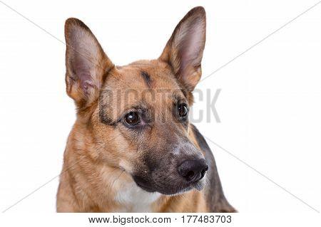 Shot of pedigreed brown shepherd on white background