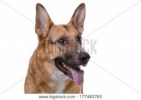Shot of pedigreed shepherd with tongue on white background