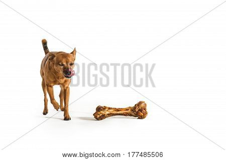 One rat terrier in studio posing for pet portraits with bone