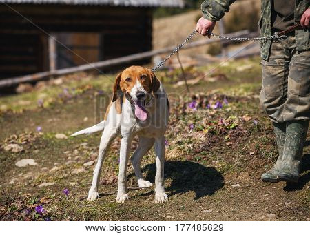 hunting dog with elongated tongue looks into the camera