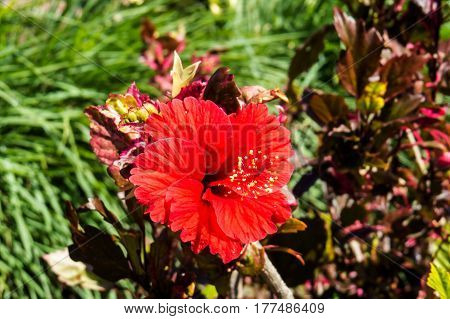A beautiful exotic Hibiscus with red petals. New Providence, Nassau, Bahamas.