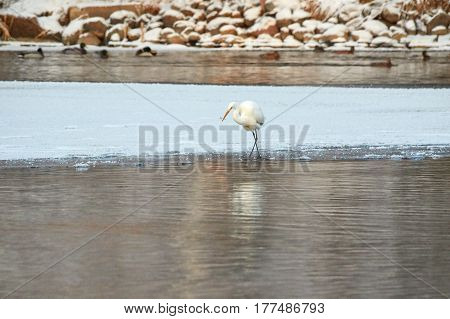 Great Egret Walking On The Ice Of Frozen River In Sunlight In The Winter