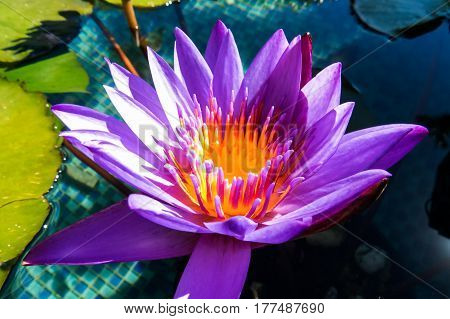 A beautiful purple and orange water lily close-up photo. New Providence, Nassau, Bahamas