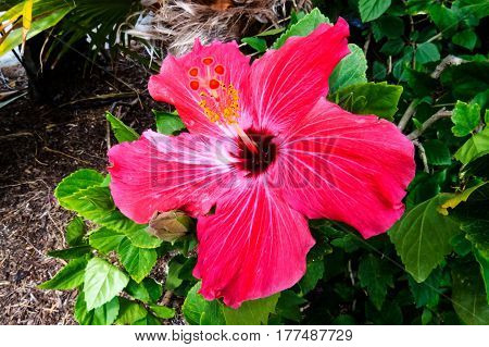 A beautiful close-up photo of an exotic Hibiscus with long pink petals. New Providence, Nassau, Bahamas.