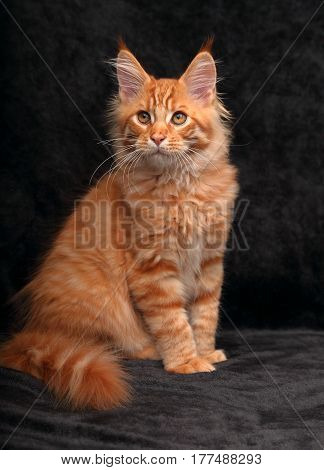 Adorable Cute Red Solid Maine Coon Kitten Sitting With Beautiful Brushes On The Ears On Black Backgr