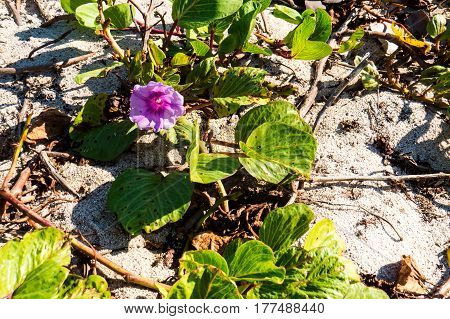 A small plant on the beach with a nice purple flower. New Providence, Nassau, Bahamas