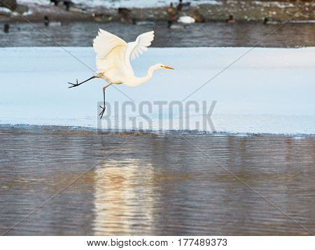 Great Egret Flying Over Frozen River In Sunlight In The Winter