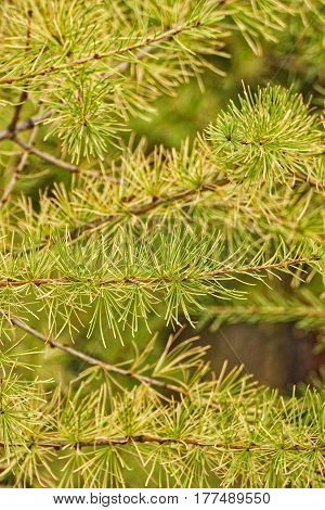 Close up of yellow needles on a larch tree