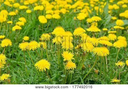 Dandelion flowers on a meadow selective focus