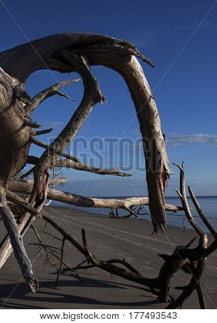 Roots from an overturned tree on Jekyll Island, Georgia, look like a sea monster heading our to sea.