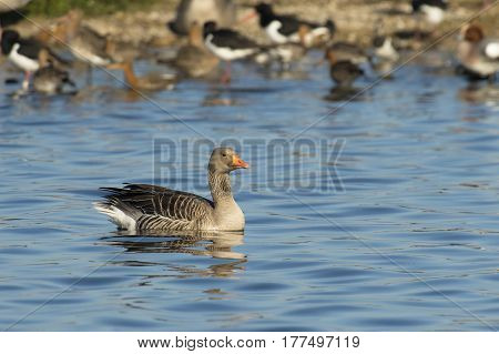Greylag Goose (Anser anser) swimming in water with a small Island and some other Birds in the Background