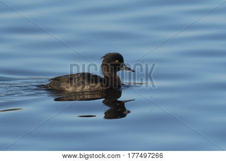 Tufted Duck (Aythya fuligula) female swimming in water of a Lake