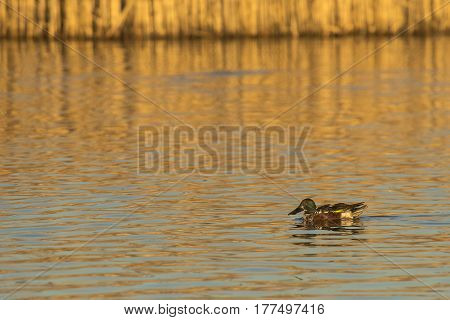 Northern Shoveler (Anas clypeata) juvenile drake swimming in water of a Lake in late afternoon Sunlight with Reed in the Background