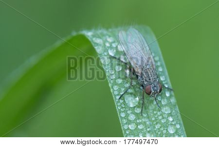Close up of an insect on green leaf, Fly is carrier of diarrhea, Macro of a green fly musca